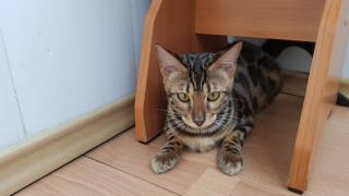 Kittens Bengal breed