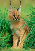 Продам кошенят Каракала