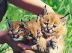 Продам котят Каракала